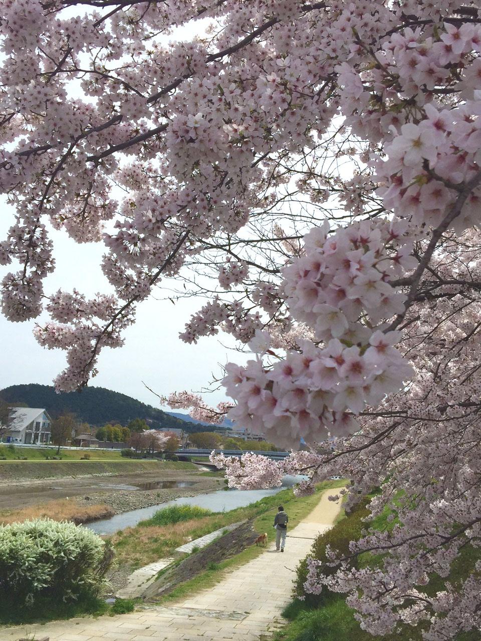 加茂川沿いの桜